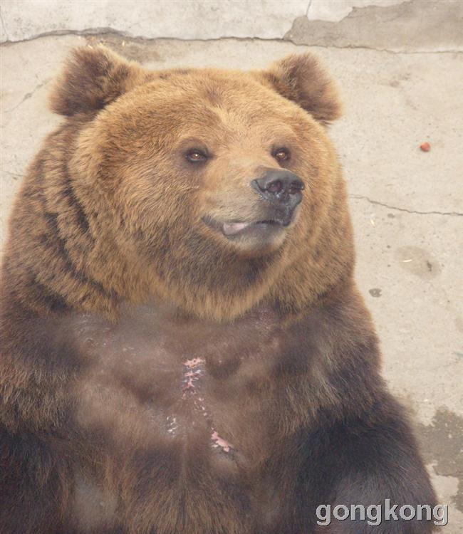 大狗熊--动物园实拍